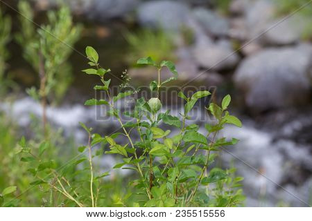 Wild Plant Or Tree With Green Leaves Near Creek In Forest Area.