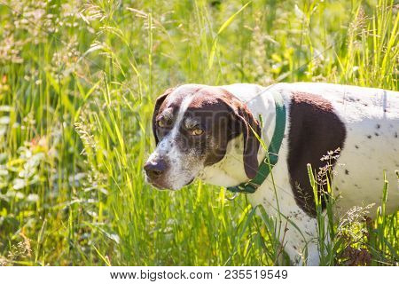 Mature, Purebred German Shorthaired Pointer Dog Standing In Tall, Green Grass In Summer Time.
