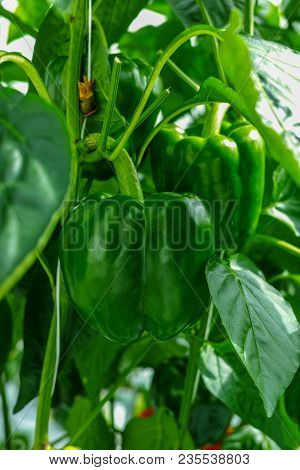 Big Ripe Sweet Green Bell Peppers, Paprika, Growing In Glass Greenhouse, Bio Farming In The Netherla