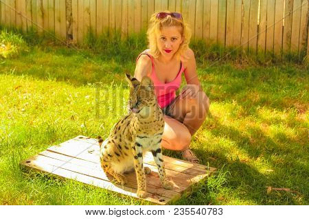 African Wildlife Experience. Tourist Woman Touchs A Serval, Leptailurus Serval, In Oudtshoorn, Weste