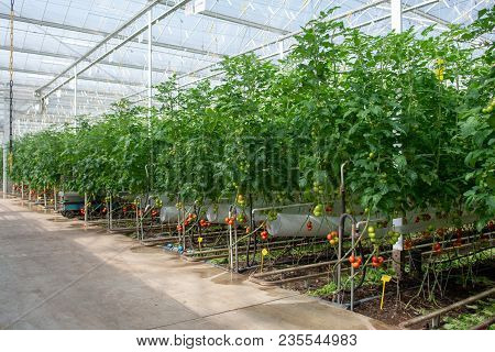 Dutch Bio Farming, Big Greenhouse With Tomato Plants, Growing Indoor, Ripe And Unripe Tomatoes On Vi