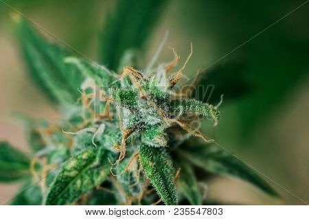 bud cannabis, with sugar trichomes cbd thc shot Macro buds of medicinal marijuana . Concepts of legalizing herbs weed,, buds grown cannabis in the house, Bud cannabis before harvest poster