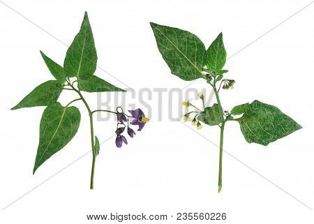 Pressed And Dried Delicate Flowers Woody Nightshade(solanum Dulcamara) On Stem With Green Leaves. Is