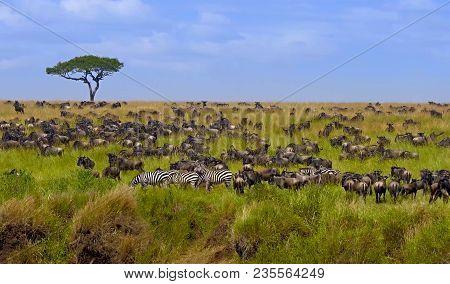 Big Herd Of Wildebeest In The Savannah. Great Migration. Kenya. Tanzania. Masai Mara National Park.