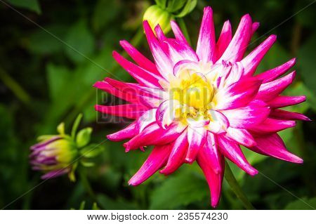 Flower Dahlia White Flowers Background Pink Plant Garden Shades Floral Nature Vector Isolated Blosso