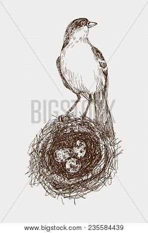 Bird Nest. Robin Nest, Eggs And Feathers. Hand-drawn In Illustrator With Charcoal Brushes To Create