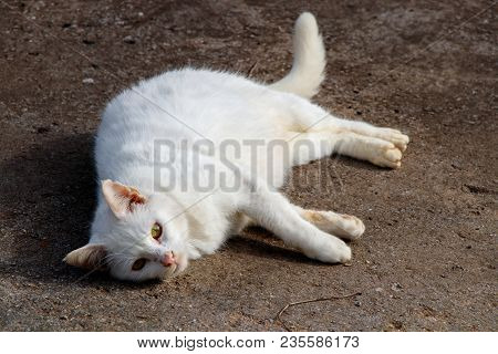 White Cat Has Different Blue Yellow Eyes Lie Down Rest