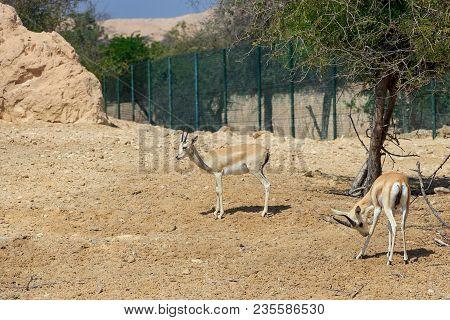 Two Sand Gazelle (gazella Marica) In Nature Reserve. Island Sir Bani Yas, Uae.