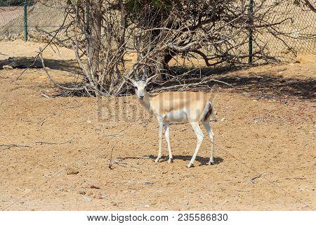 Single Sand Gazelle (gazella Marica) In Nature Reserve. Desert. Island Sir Bani Yas, Uae.