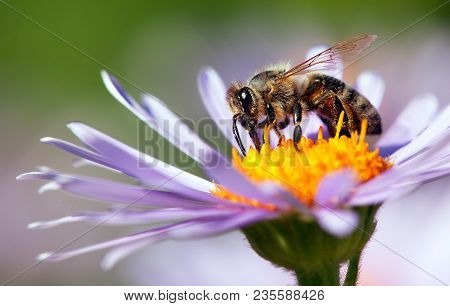 Detail Of Bee Or Honeybee In Latin Apis Mellifera, European Or Western Honey Bee Sitting On The Viol