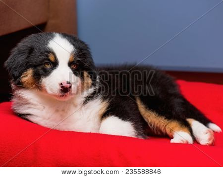 Australian Shepherd purebred puppy, 2 months old on the lair. Black Tri color Aussie dog at home.