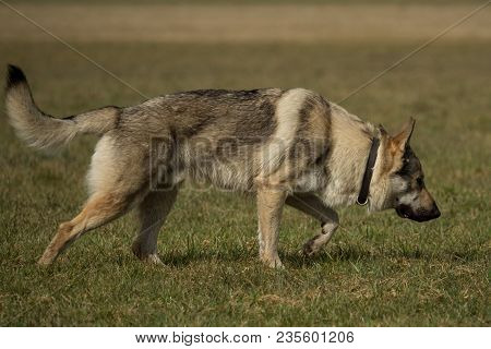 A Czech Wolfhound Plays Outside In The Meadow