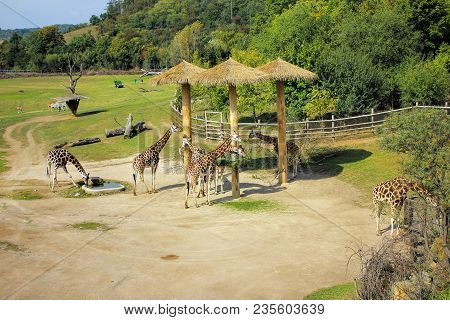 Giraffes Are Eatting In Nature Zoo In Prague.