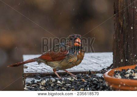 Soaking Wet Female Northern Cardinal Bird At A Feeder