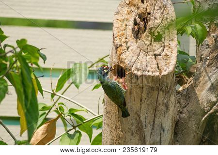 Megalaima Haemacephala Bird Is Nesting On The Tree Have A Meal In The Mouth