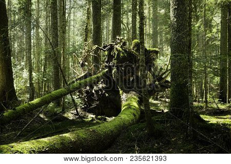 Big tree root in a green mossy forest. Old broken tree in rainforest. Dead broken tree root. Nature. Forest. Natural. Tree in green forest. Amazing nature. Fallen tree in nature. Sunlight in forest.