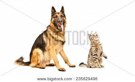German Shepherd Dog  And Curious Cat Scottish Straight Isolated On White Background