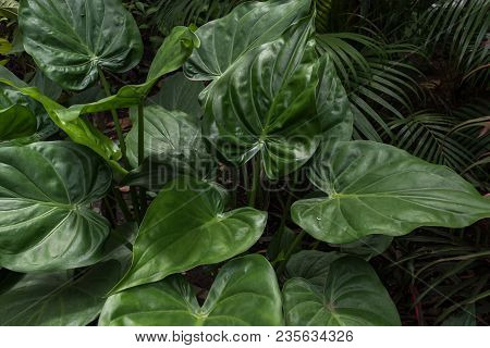 Tropical Plant With Fresh Leaf Background Photo. Exotic Plant Outdoor Under Sun. Tropical Garden Bac
