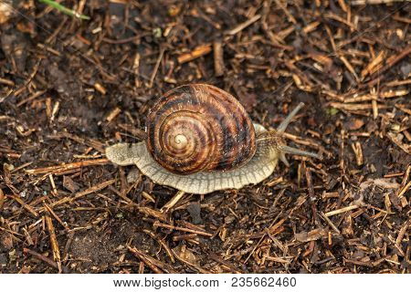 Garden Snail Crawls On Ground. Ground Gastropod. Helix Pomatia