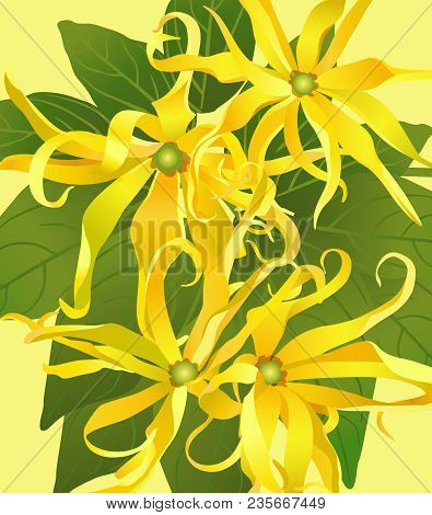 Flowers Ylang Ylang On A Light Green Background