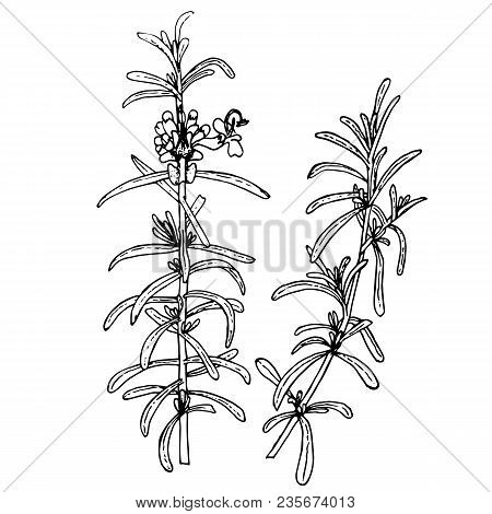 Rosemary Plant Sketch. Branches Of Medicinal Plant Rosemary. Hand Drawn Monochrome Ink Stock Vector