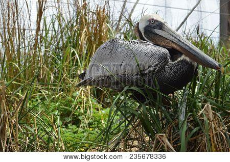 Horizontal Close Up Of Brown Pelican In Marsh Grass