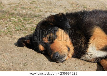 Sleeping Stray Dog Photographed In Kyanjing Gompa, Nepal.