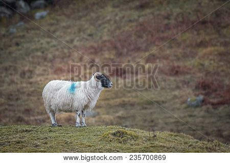 Profile Portrait Of A Lonely Ram Standing On The Hillside In The Wet With Raindrops And Wet Wooly Co