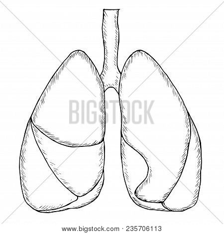 Vector Illustration Of Human Lungs In Sketch Style. Hand Draw Image, Isolated On White Background. L