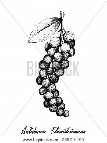 Berry Fruit, Illustration Hand Drawn Sketch Of Antidesma Thwaitesianum Fruits Isolated On White Back