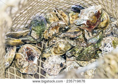 Landing Fishing Net With Harvest Of Catch Fresh Raw Closed Oysters (oyster Dredge) Background