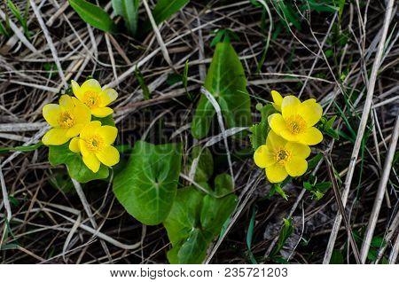 Marsh Marigolds (calta Palustris) On Spring