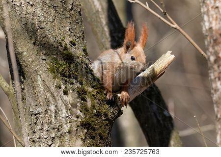 Squirrel On Tree. Portrait Of Wild Red Squirrel On Tree Trunk. Closeup. Ukraine. 2018. Wildlife  Bac