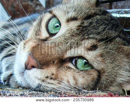 A Closeup Of A Tiger-striped Cat's Head With It's Fantastic Big Green Eyes.
