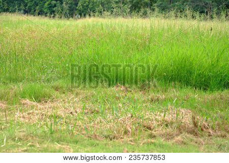 Green Yellow Colors Of Grassland Growing In The Field At The Park For Foliage Green Background