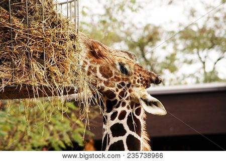 Portrait Of Giraffe Reaching Up To Feeder With Hay