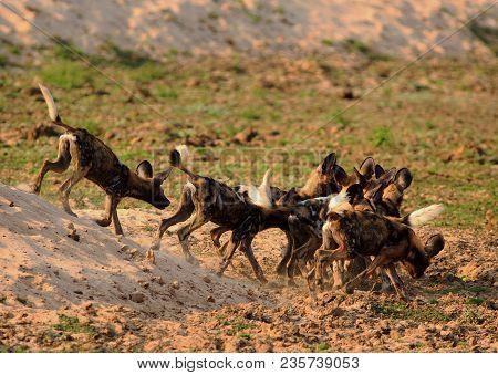 African Wild Dog (lycaon Pictus) Pack In A Frenzy With Dust And Sand Flying After A Recent Kill In S