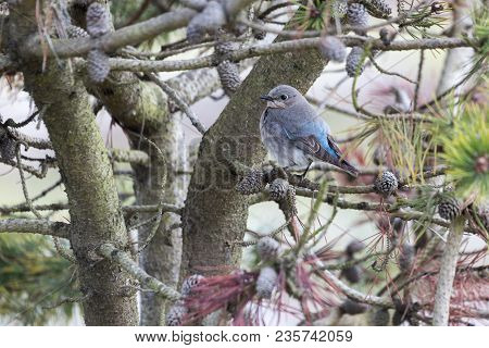 Female Mountain Bluebird  At Vancouver Bc Canada
