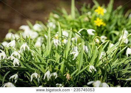 Many Snowdrop Flowers In A Garden In April Growing In The Sun
