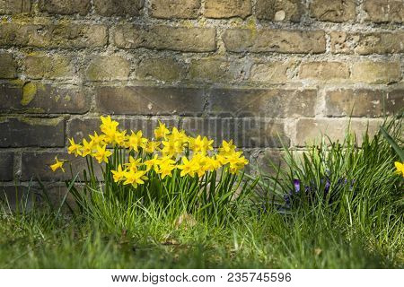 Flowerbed With Yellow Daffodils Up Against An Old Brick Wall