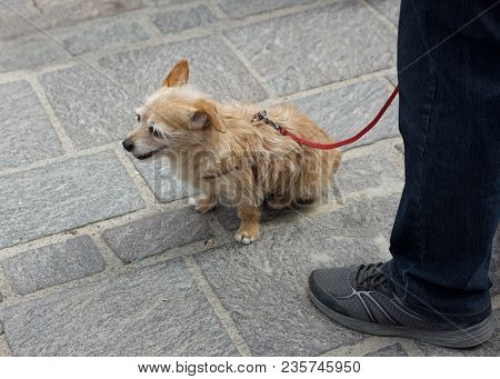 Fragment Photo Of Brown Little Doggy Sitting On A Pavement Near His Owner. Doggy Outside. Dog With T
