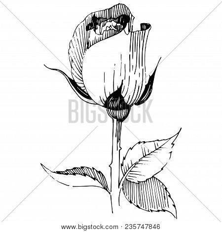 Wildflower Rose  Flower In A Vector Style Isolated. Full Name Of The Plant: Rose , Rosa, Hulthemia.