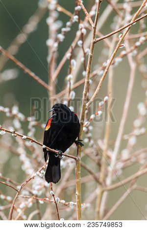 Blackbird singing on twig in Hauser, Idaho.