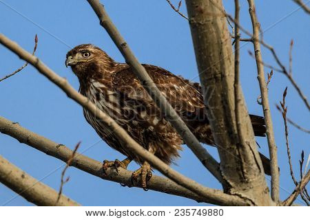 A red tailed hawk is perched up in a tree near Coeur d'Alene, Idaho.