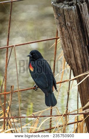 A red-winged blackbird is perched on a fence in Hauser, Idaho.