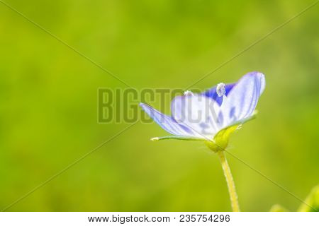 Springtime. Macro Shot Of A Blue Speedwell Birdeye.