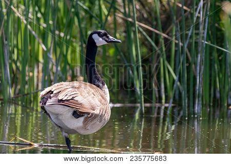 Single Canada Goose Standing In Marsh Wetland