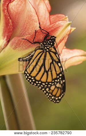 Newly Emerged Monarch Butterfly Dries Its Wings