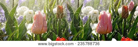 Wide Image Of Modern Spring Park Scene With Rain Over Beautiful Tulips In Luxury Garden - Watering F