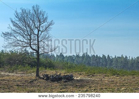 Sunny Spring Forest Landscape With Lone Tree On The Lawn. Young Pine Forest On A Sunny Day.